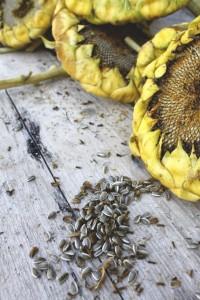 pipas girasol 200x300 Las semillas de la vida: de ahí la vida. Calabaza, girasol, lino, chía